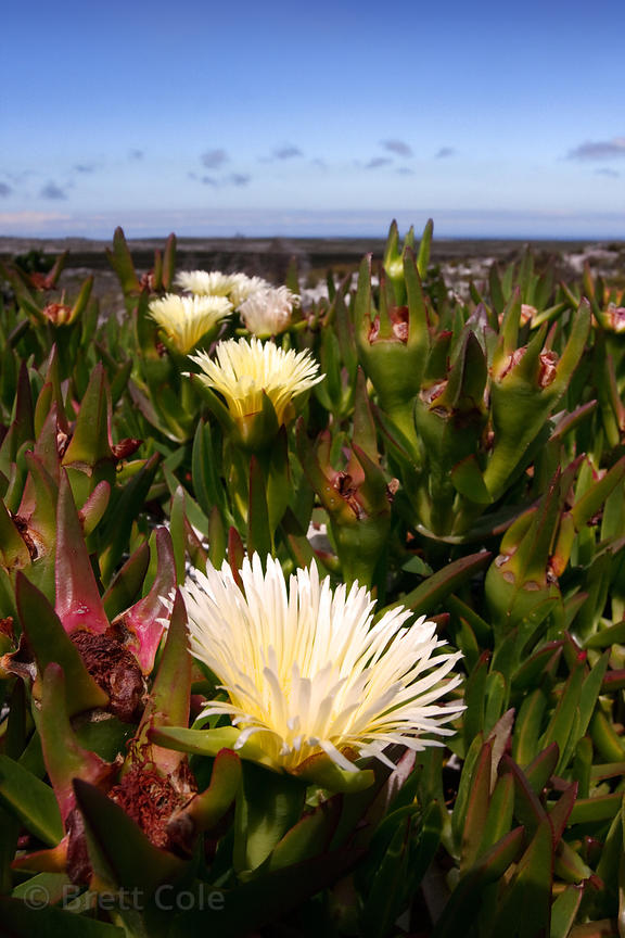 Sour fig (Carpobrotus Edulis), a favorite of Chacma Baboon, Smitswinkel flats, Cape Peninsula, South Africa