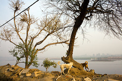 India - New Delhi - Two stray dogs sniff around a tree by the Yamuna river