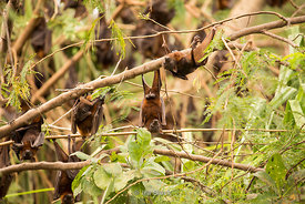 Little red flying foxes, a species of megabat hanging off trees on the Ord River in Australia's Kimberley.