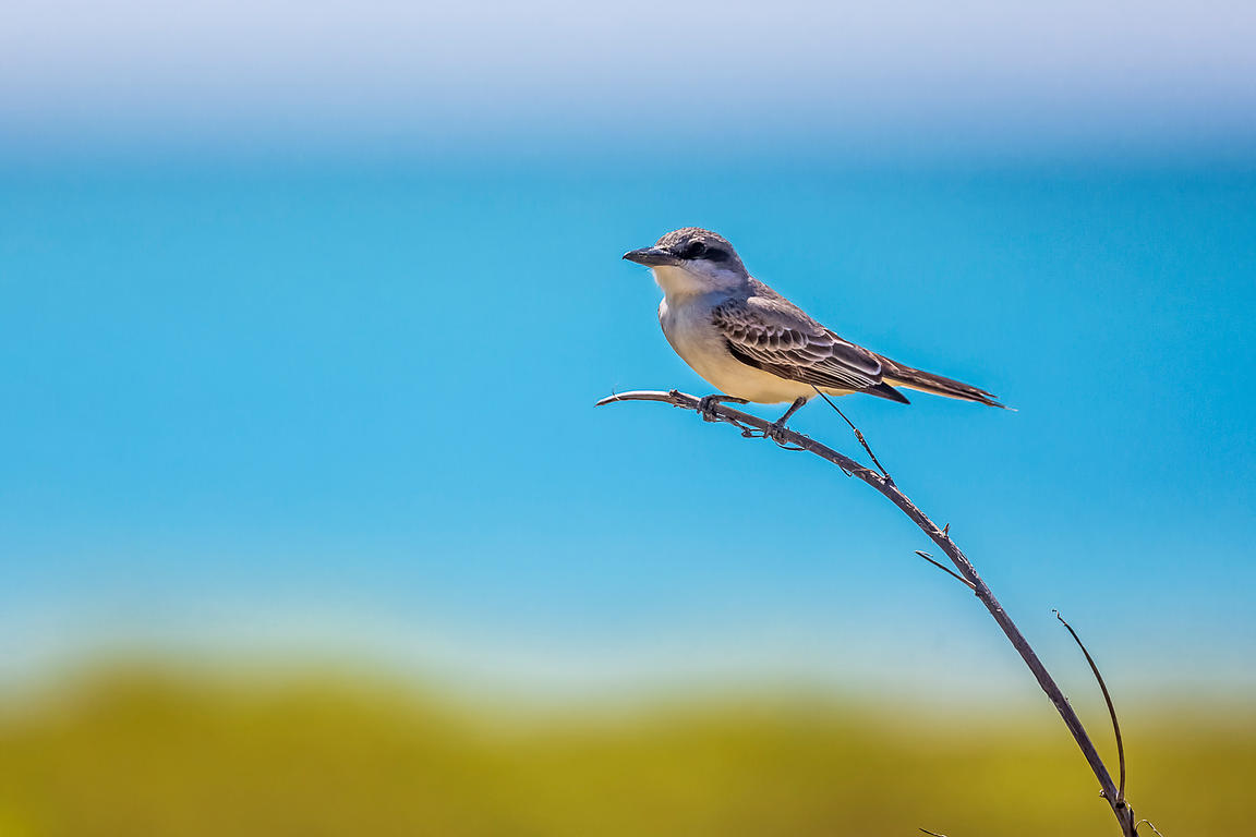 Gray Kingbird in Dry Tortugas National Park, Florida