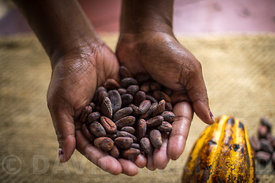 Chocolate beans at Aelan Chocolate Makers, Efate