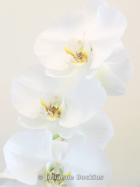 High Key White Orchids