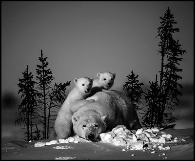 3081Polar_bear_with_cubs_Manitoba_Canada_2016_Laurent_Baheux