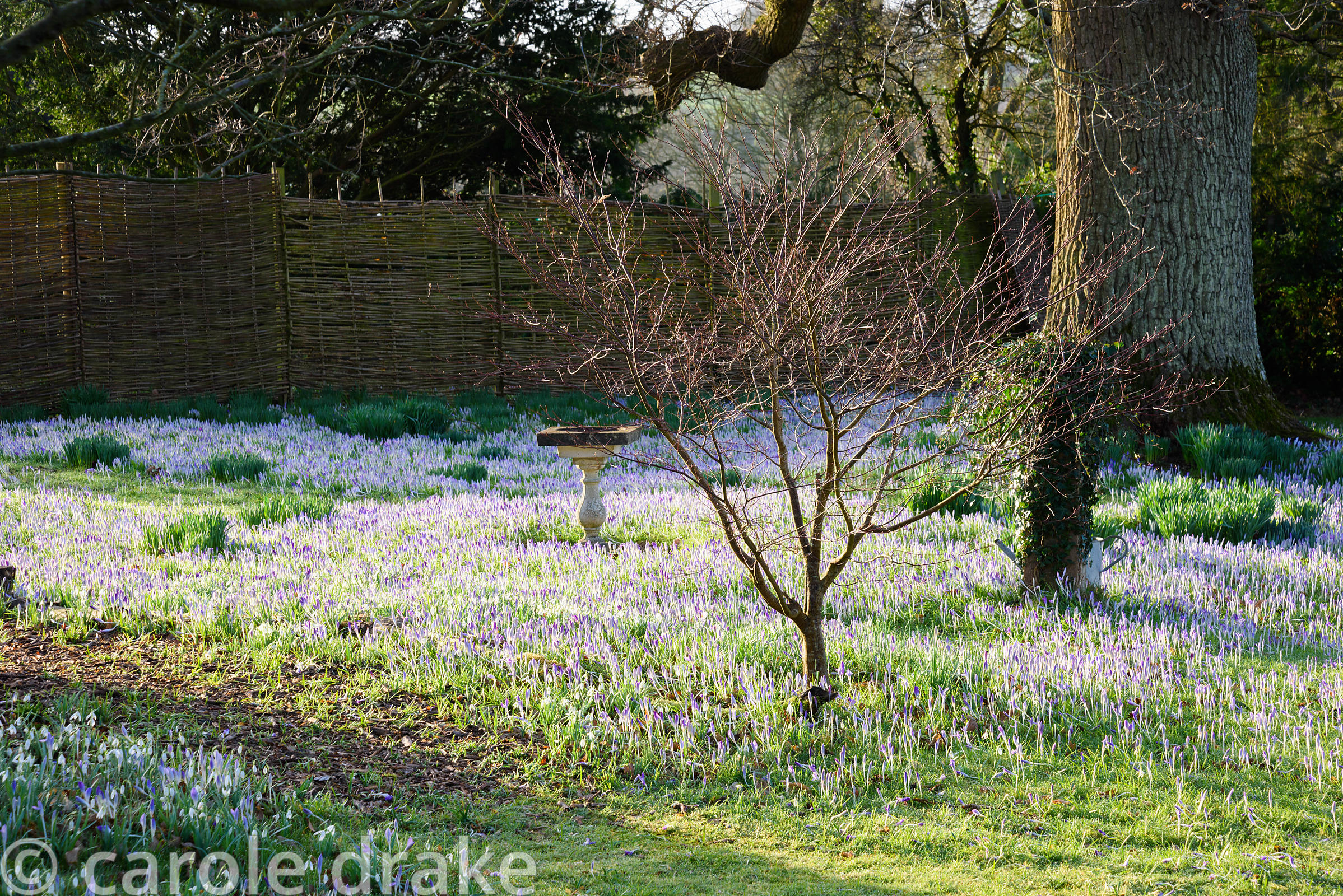 Naturalised Crocus tommasinianus on a winter's morning at The Down House, Hampshire
