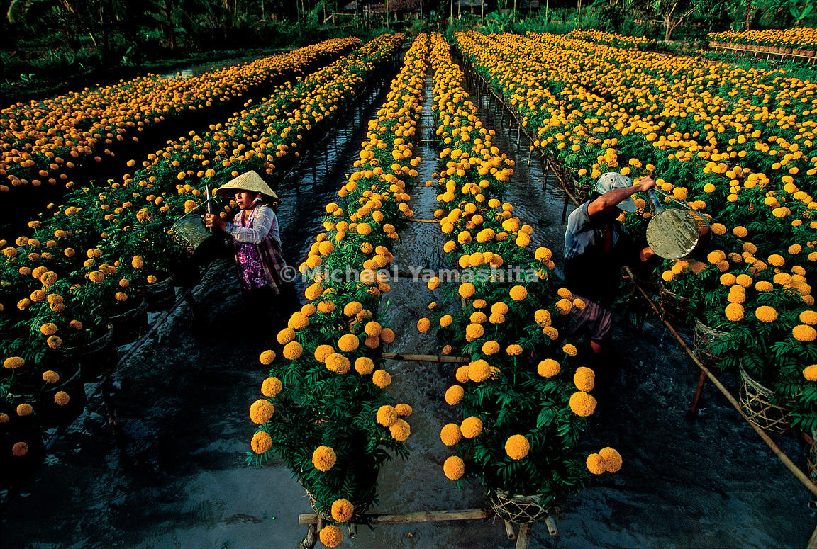 Marigolds grow over the waer, much of Zheng He grew vegetables on the decks of his ships.