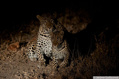 Leopard mating at Sabi Sand photos