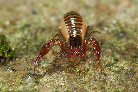 Pseudoscorpion species