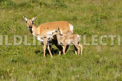 pronghorn_mom_and_fawn