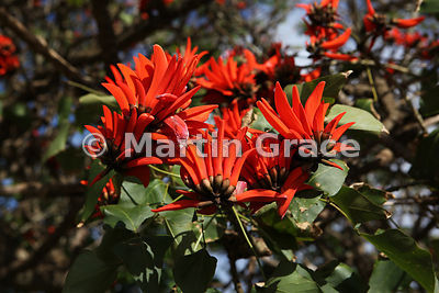 Flowers of the coral tree (Erythrina sp), Easter Island (Rapa Nui)