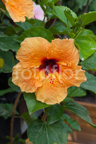 Hibiscus Rosa-sinensis 'Chrystel', orange