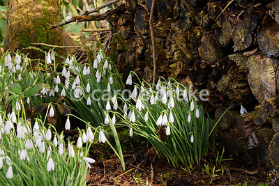 Snowdrops beside a woodpile in the garden at Higher Cherubeer, Devon