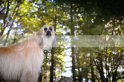 blond and black afghan hound dog in natural setting