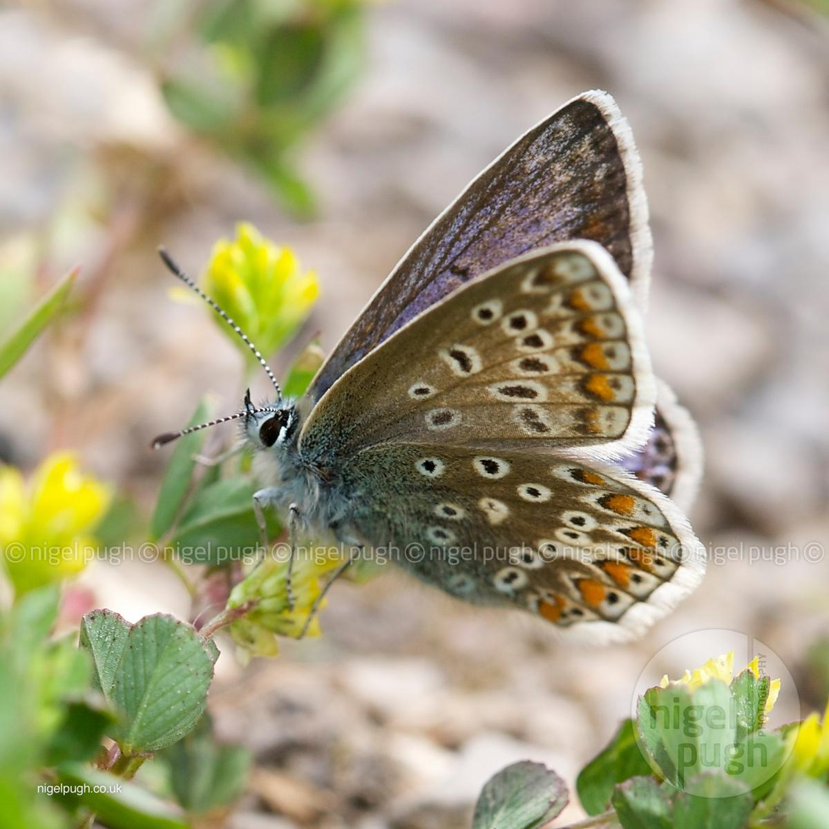 female common blue butterfly:
