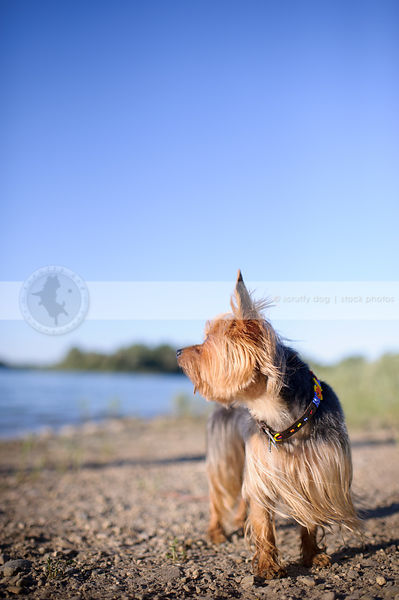 small dog looking away standing on lake shore with minimal background