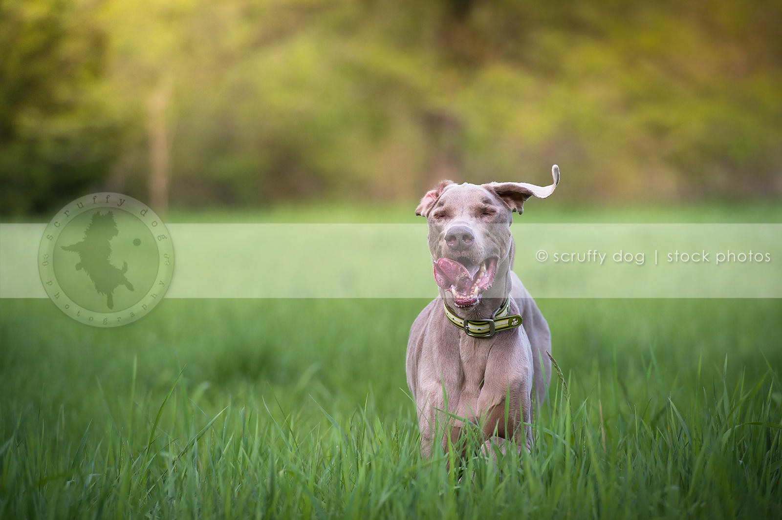 joyful dog with eyes closed walking in summer meadow