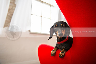 cute little black and tan dog peeking from chair at window indoors