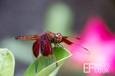 Red Grasshawk Dragonfly On A Leaf, Bali