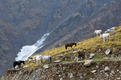 Horses in the Himalayas on the way to Rohtang Pass, Manali, India. The horses are used to give rides to Indian tourists. Low ...