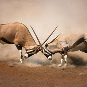 Gemsbok fighting with inter-locking horns