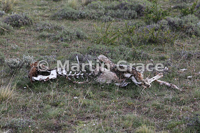 Remains of a Guanaco (Lama guanicoe) that has been killed by a Puma and picked clean by scavengers, Torres del Paine, Patagon...