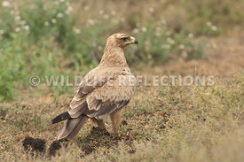 tawny_eagle_ground_4