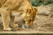 Lioness sniffing the sad remains of lost prey
