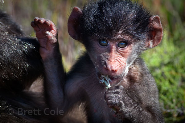 Portrait of a baby chacma baboon from the Kanonkop troop, Smitswinkel Flats, Cape Peninsula, South Africa