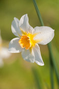 Narcissus 'Sunrise', dating from 1901. Cotehele, Cornwall, UK