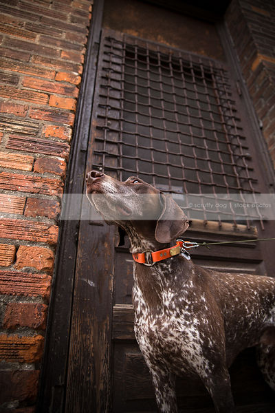 brown roan dog looking skyward at wood door of urban brick wall