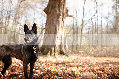 alert dutch shepherd dog standing in autumn setting