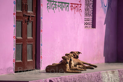 Three street dogs rest on a porch next to a purple wall, Pushkar, Rajasthan, India