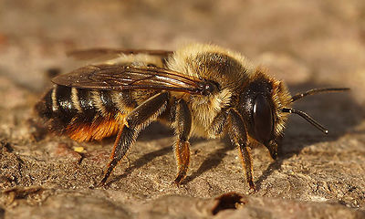 Megachile species, female