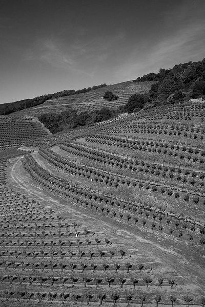 vineyard-black-white
