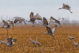 Sandhill Cranes at the Platte River Migration Stop in Nebraska