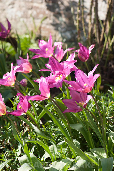 Tulipa 'Burgundy'. Cotehele, Cornwall, UK