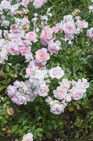 Rosa LOVELY MEILLAND® 'Meiratcan', rosier paysager, rose