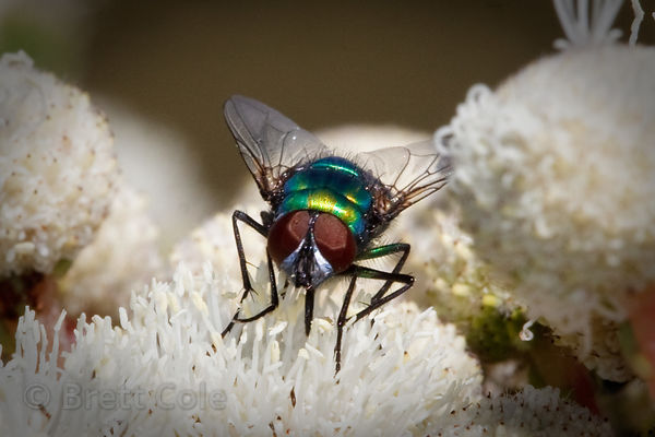 Fly (sp.) on a wildflower, Wildcliff Nature Reserve, South Africa