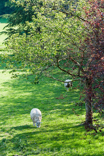 Sheep grazing in the field below the house.