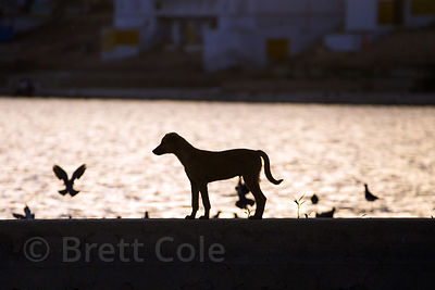 Street dog silhouetted at sunset on holy Pushkar Lake, Pushkar, Rajasthan, India