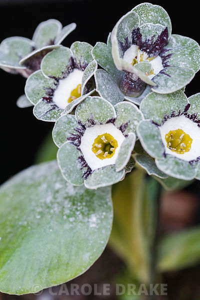 Auricula 'White Wings'. Summerdale House, Lupton, Cumbria, UK