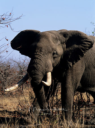 South_Africa_Elephant