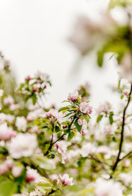 Apple blossoms 7