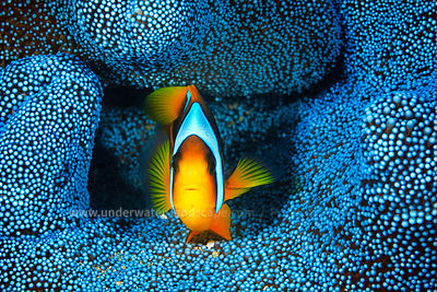 Yellow Clownfish in blue sea anemone