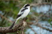 Grey-backed Fiscal, Lanius excubitoroides, Ishasha sector in Queen Elizabeth National Park, Uganda