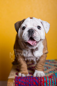 White and Tan Bulldog Puppy Sitting and Smiling