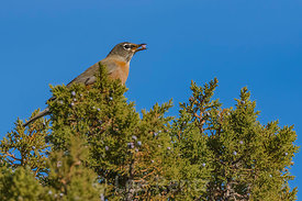American Robin Feeding on Juniper Berries in Rio Grande del Norte National Monument