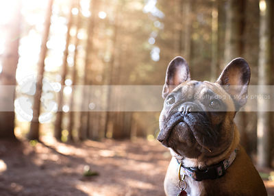 headshot of fawn french bulldog in forest with sunflare