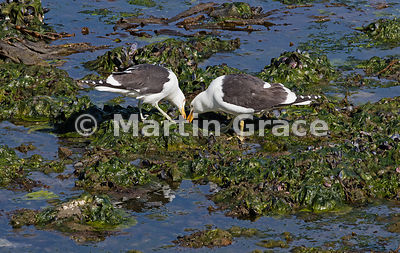 Two Kelp Gulls (Larus dominicanus) feeding on algae in seaweed and mussel bed, Ushuaia, Tierra del Fuego, Argentina