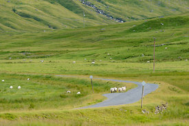 Sheep Glen Lyon