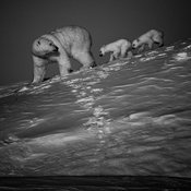 5067-Polar_bear_with_cubs_Baffin_Island_Canada_2016_Laurent_Baheux